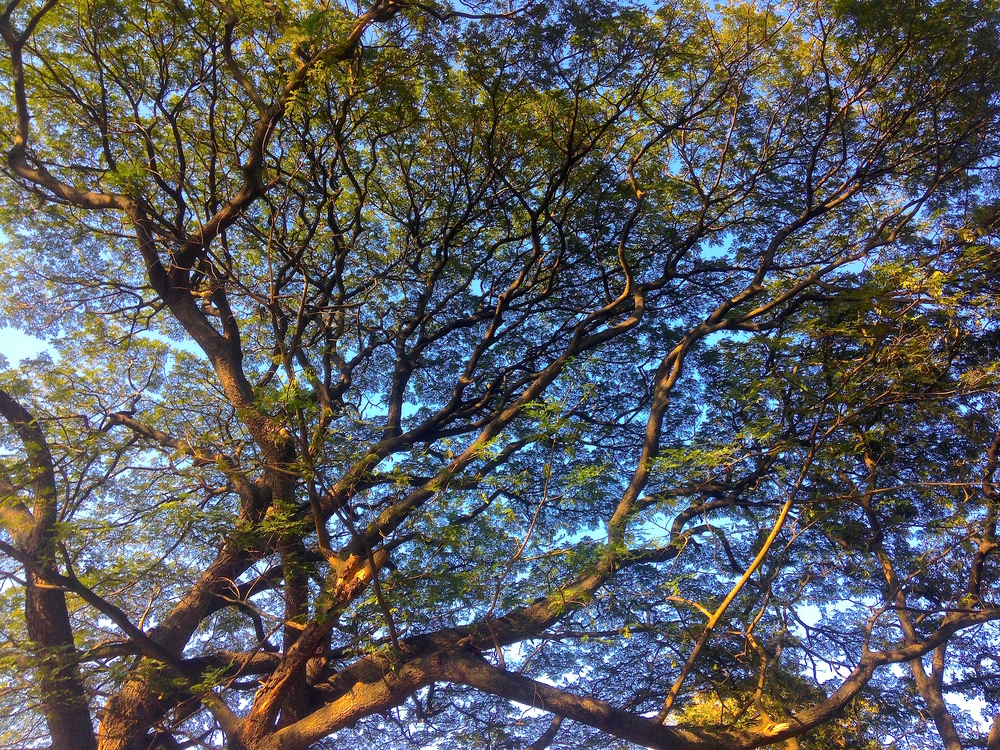Beautiful branches in the Lalbagh Botanical Garden in Bangalore.