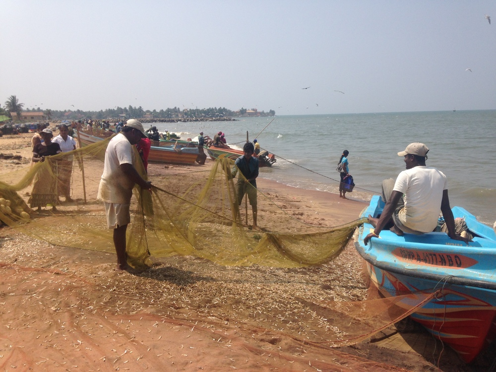 Flinging fish off the nets on shore.