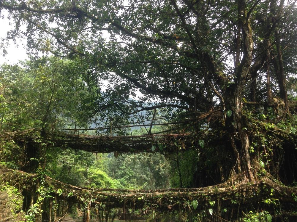 The double decker tree root bridge.