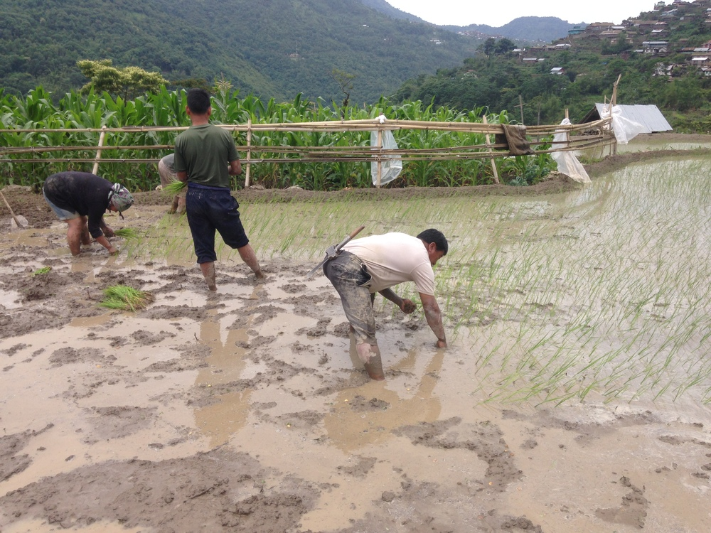 Villagers planting rice.