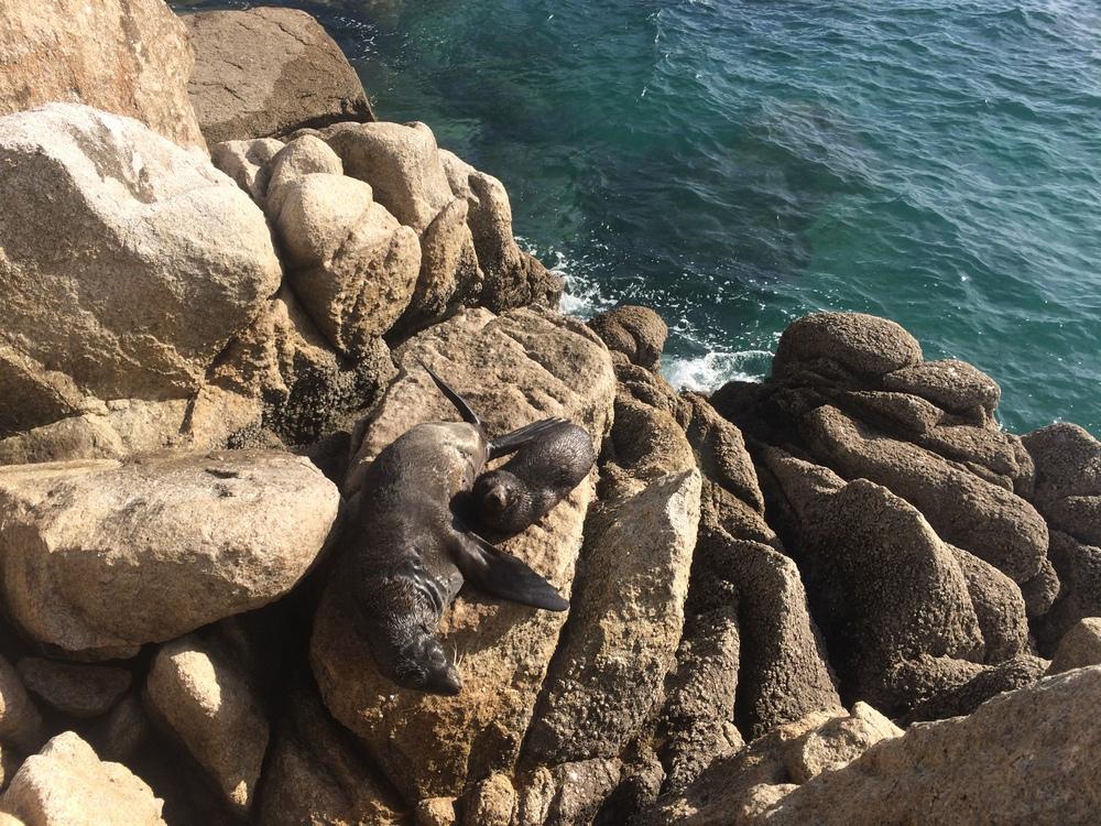 Seal pup nursing at Separation Point