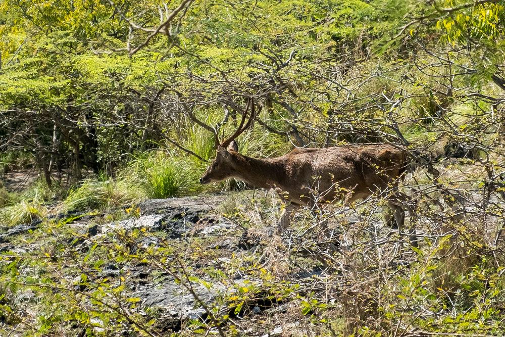 Javanese Deer