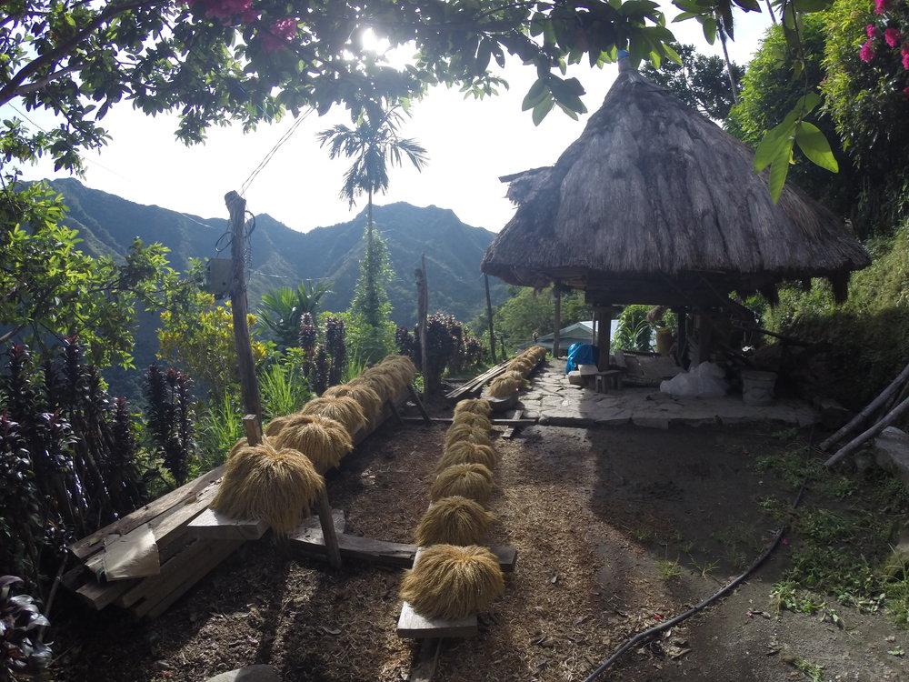 Rice bushels drying in the sun