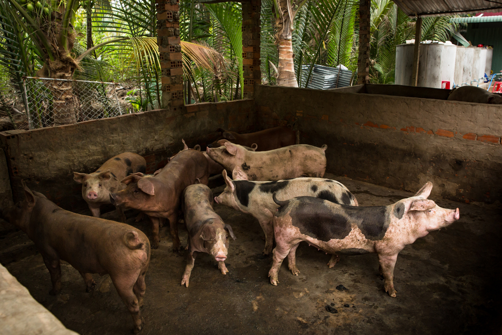 April 27, 2016.  Phuong dug a well for his pigs but the water is still salty and their growth has been stunted.  They are 4-5 months old and normally would be approaching their selling weight of 100kg.  They are only 50kg now and Phuong said he would wait till the rains come and try to get them to 70kg .  A 100kg pig would sell for for $50 and this translates into $10 profit for each pig.   He hopes to at least break even this year but a loss is a possibility.  Like most people in the Delta Phuong's rainwater tanks where full at the end of the rainy season and this would usually be enough to get them through the dry season.  This year he ran out of water in February and he has had the added expense of having to purchase water for washing and drinking.  His well that he is using for his pigs water is pictured in the foreground.