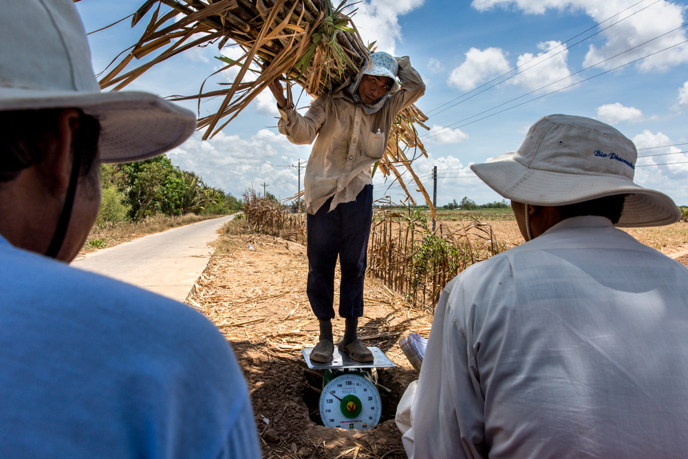 May 8, 2016.  Hai, 52, (left) supervises the weigh in of his sugarcane harvest.  He has 2 sugarcane fields in different areas on Cu Lao Dung.  He lost his smaller 2 hectare field but luckily his larger 4 hectare field has survived.  Despite the loss he says he will make a profit this year, he told us that only 30% of families in the area are making a profit from their land.