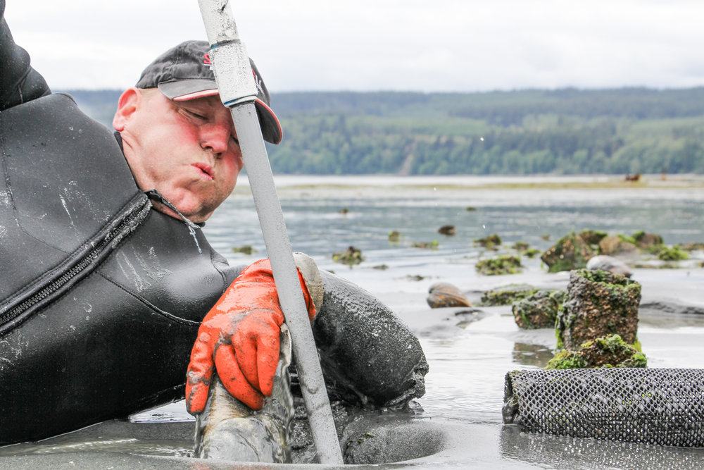 Frank uses The Stinger to harvest a geoduck. Photo by Bonnie Obremski