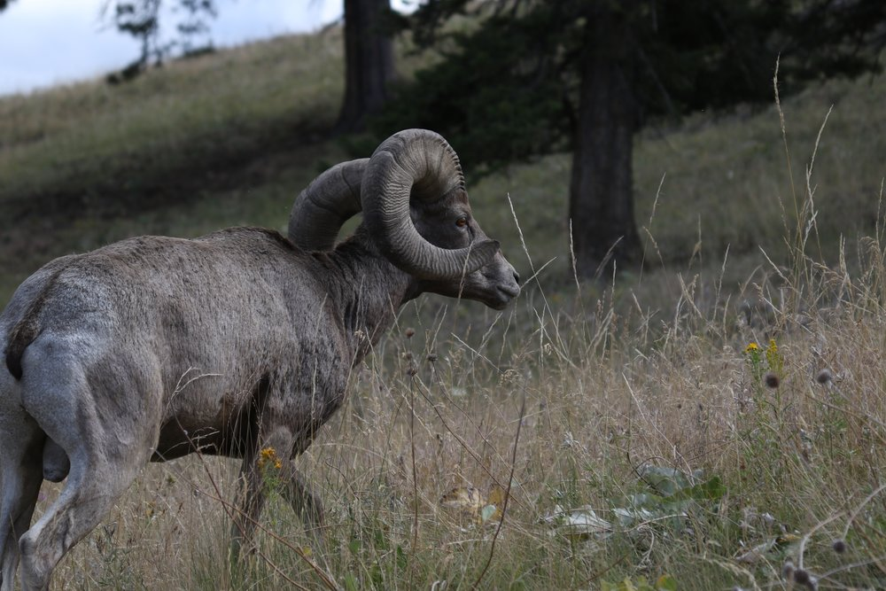 big horn sheep montana.jpg