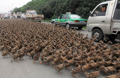 Quaken up - lady miss kier        Traffic in Taizhou,China is brought to a standstill when 70-year-old Hong Minshun takes his 5,000 ducks for a walk.     Drivers and passers by are amazed by the discipline of the ducks.    Hong says that regular exercise to reach a nearby feeding pond is necessary to keep his ducks fit and healthy. from :   headandstomachaches :     http://www.mixcloud.com/ladykier/        https://www.facebook.com/pages/miss-Lady-Kier/296808489716?fref=ts