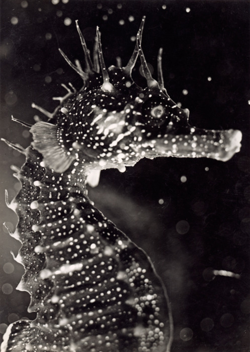 seahorses!  by Jean Painleve - L'Hippocampe 1934 thanks  99elephants :