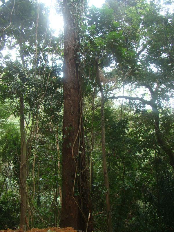 Mal D' Estomac Forest