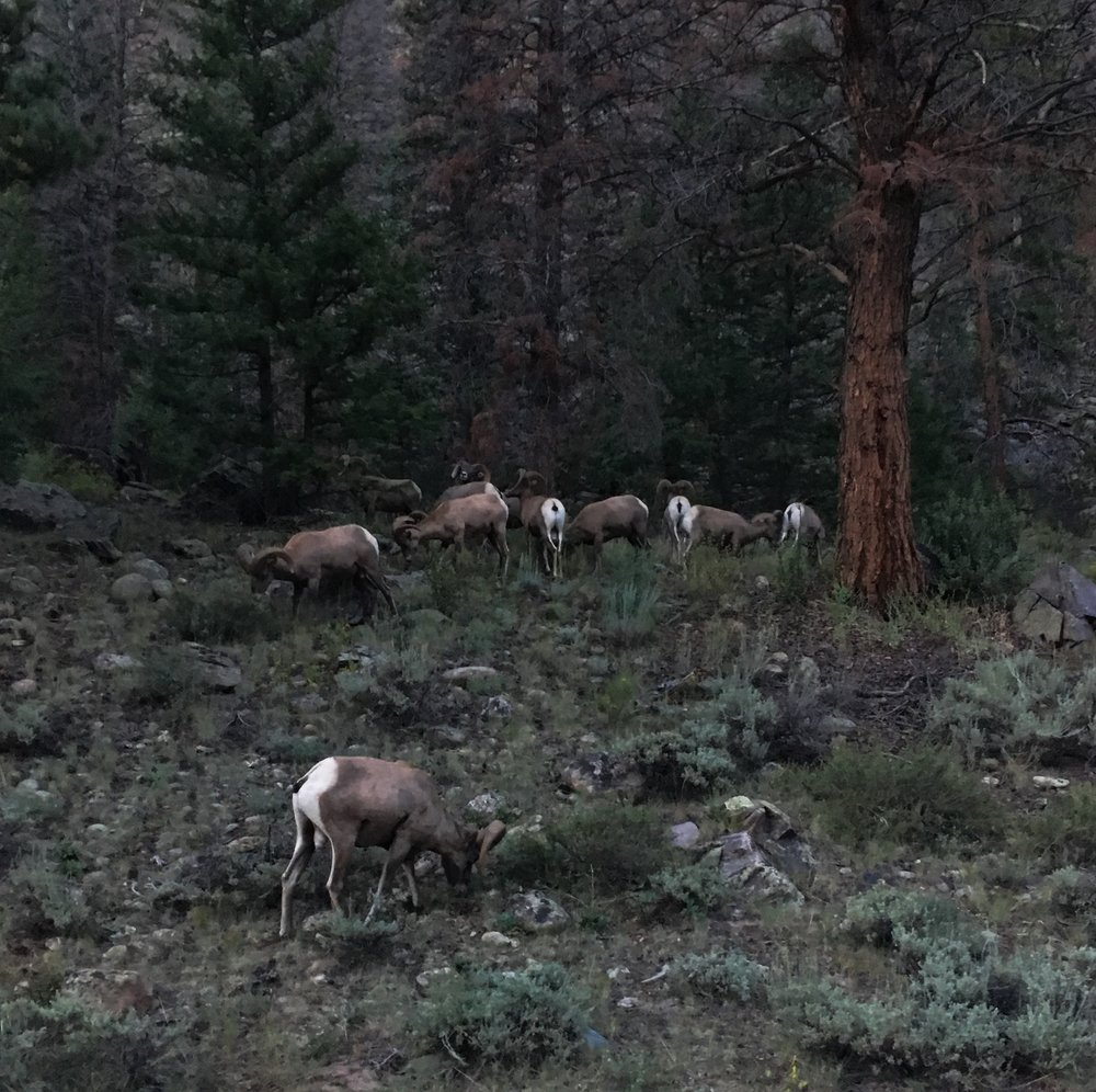 Big Horn sheep seen in the way to Chelsea's cabin NBD