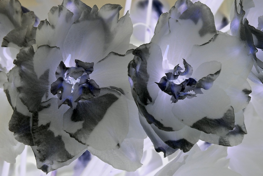 Delphinium Seven