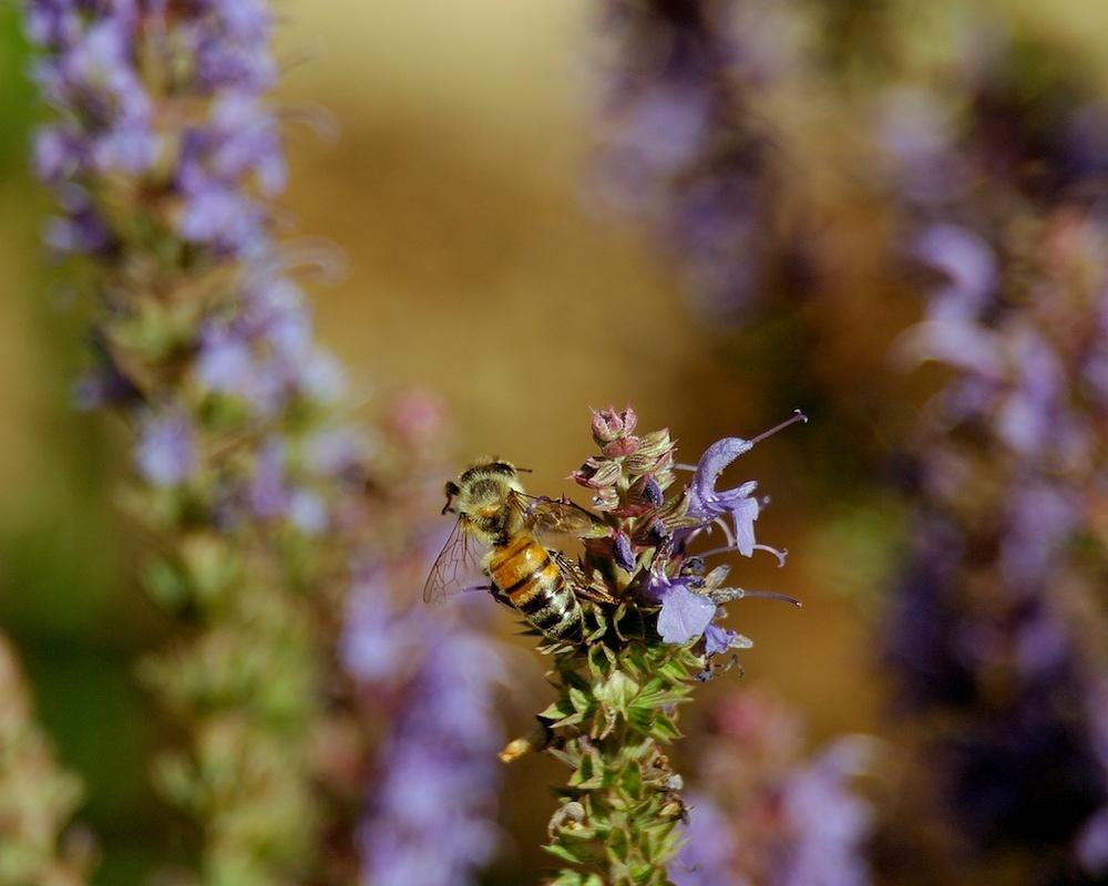 Bee-lavender_2011-06-06_16-44-39_19 of 24©MaggieLynch2011.jpg