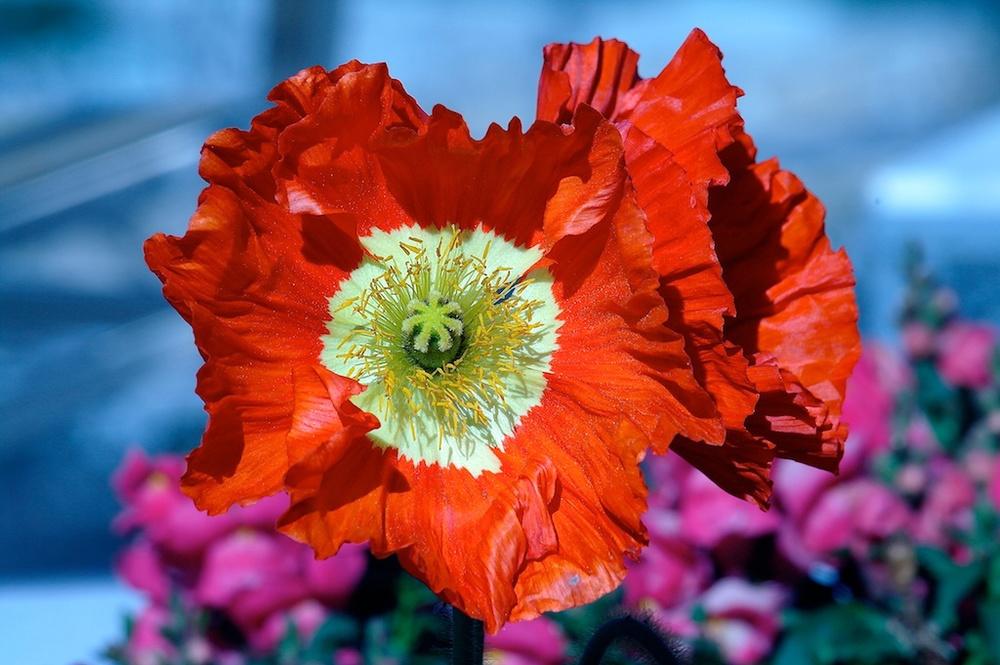 Poppies_2011-02-28_14-35-01_2©MaggieLynch2013.jpg