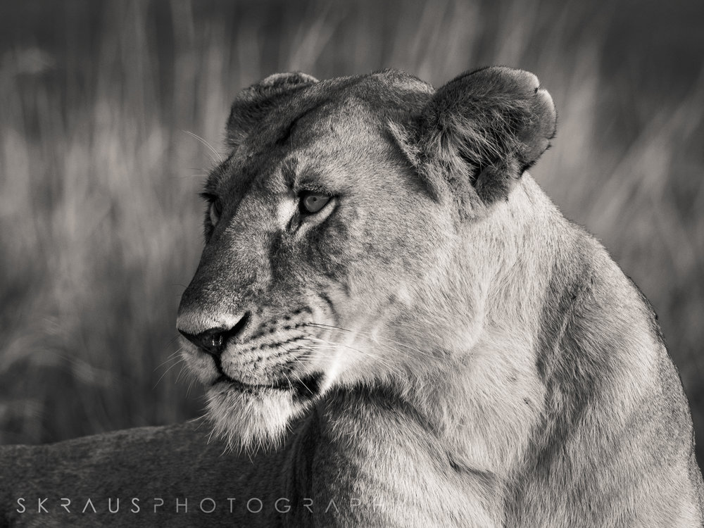 Lioness b-w.jpg