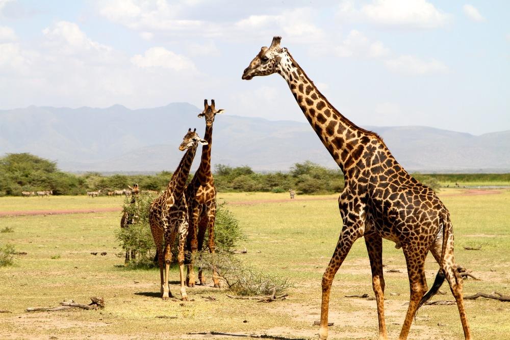 Safari in Lake Manyara — Tanzania