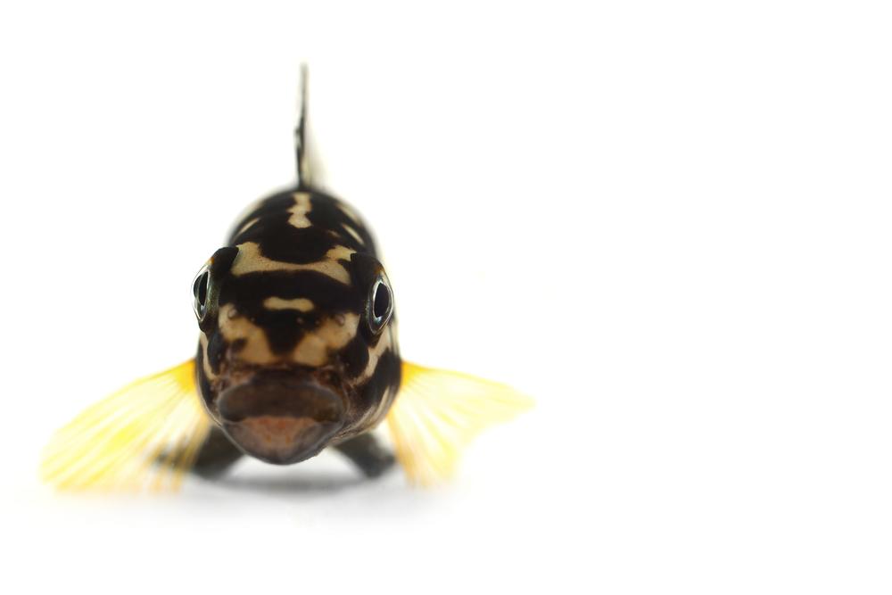 "African Cichlid - Julidochromis Marlieri ""Marlier's Julie/Spotted Julie"""