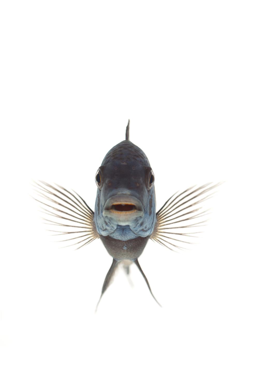 African Cichlid - (Blue-Faced) Tropheus Duboisi