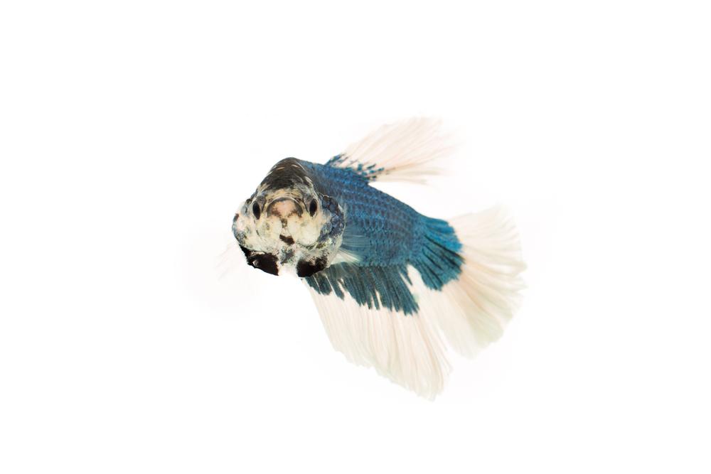 Butterfly Betta (male) - Siamese Fighting Fish