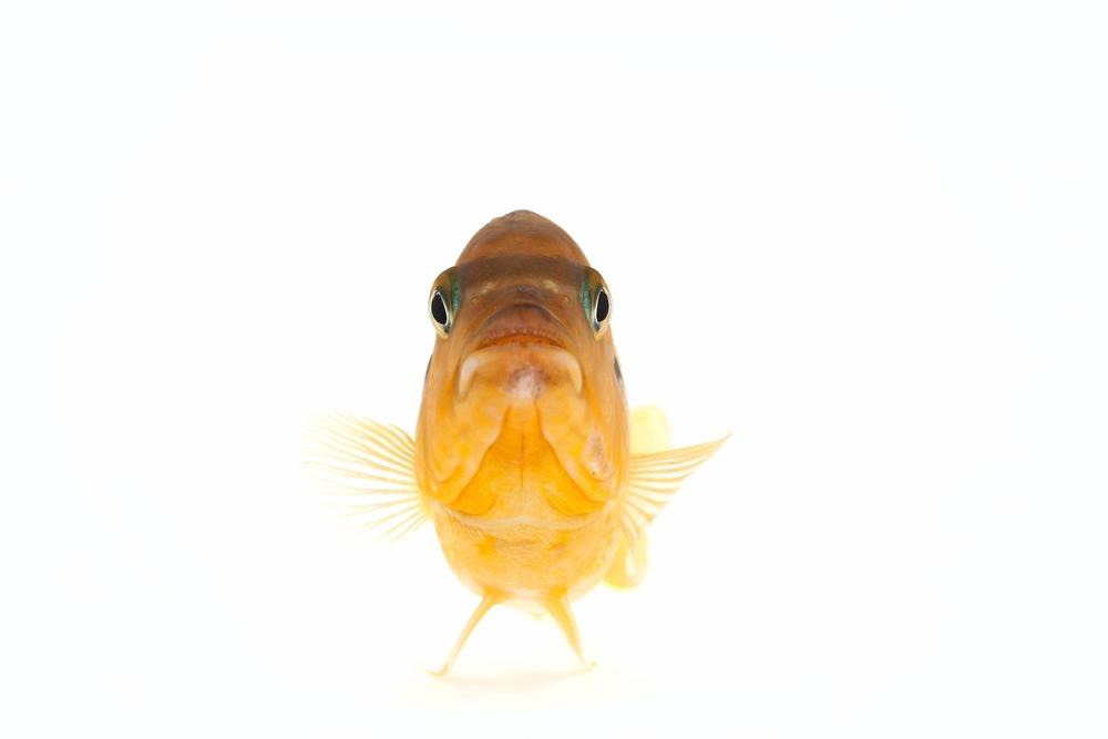 African Cichlid - (Male) Kenyi