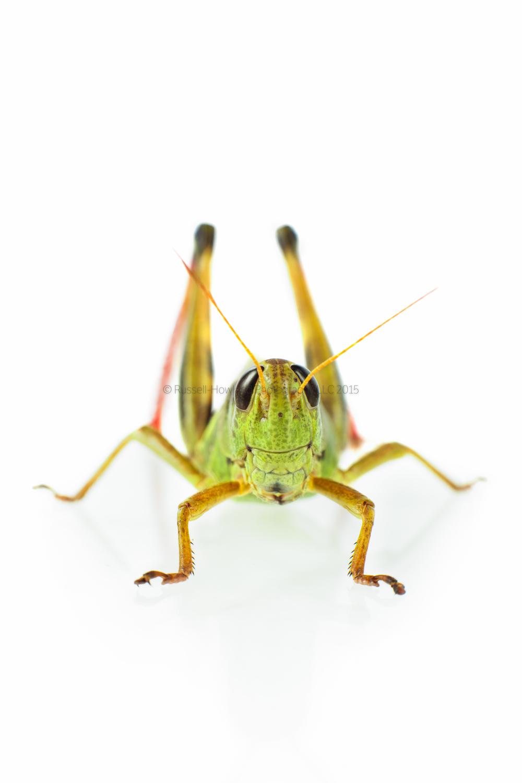 Subject: Melanoplus Femurrubrum - Red-Legged Grasshopper