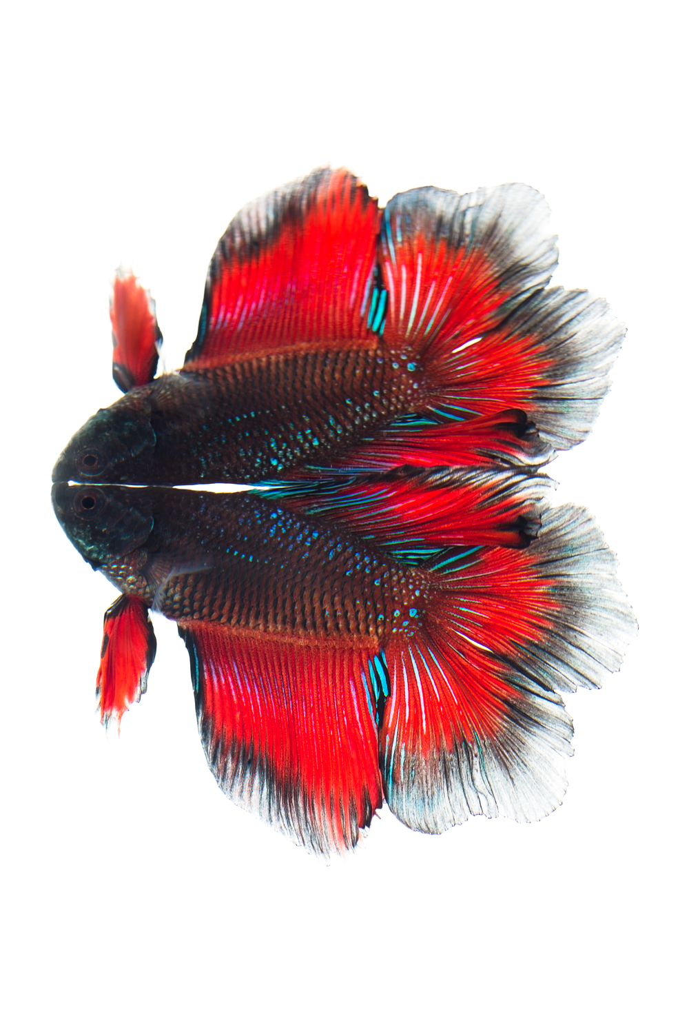 """Double-Tail"" Male Betta"