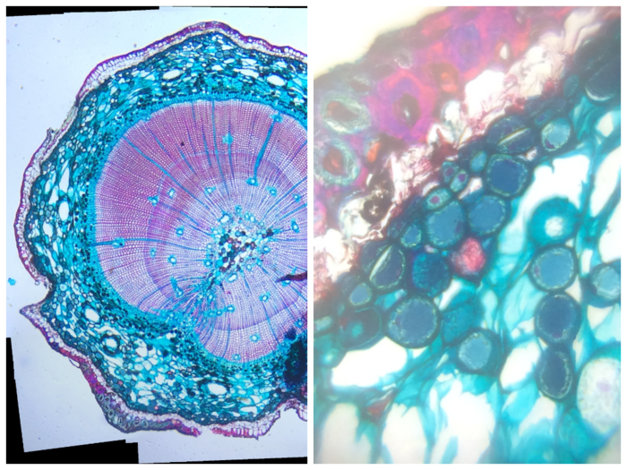 Pine Stem: Left: Composite image at ~146x (30x optical with 4.87x digital). Right: ~602x (170x optical with 3.54x digital)