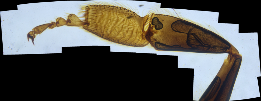 Panoramic image of a bee worker leg at ~67x (30x optical with 3x digital)