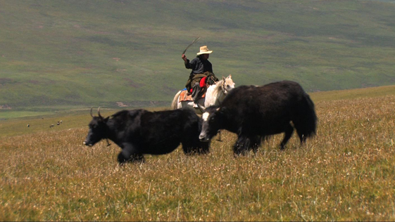 Locho herding