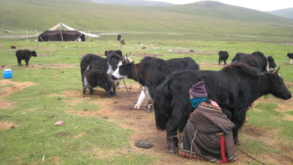 Yama milking a dri