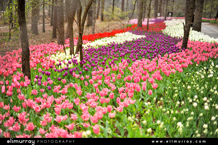 Tulips in Akansas