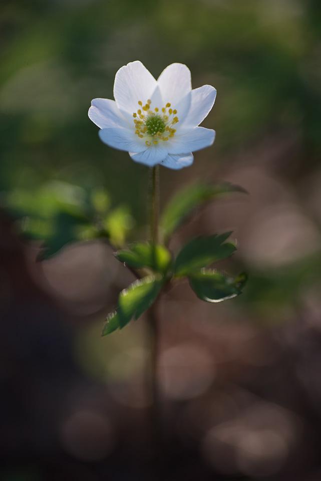 kronvallspixlar_180508_makro_anemone_02.jpg