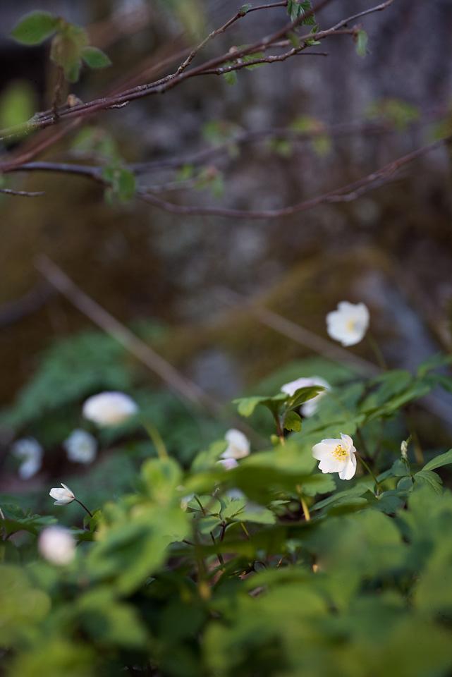 kronvallspixlar_180508_makro_anemone_09.jpg