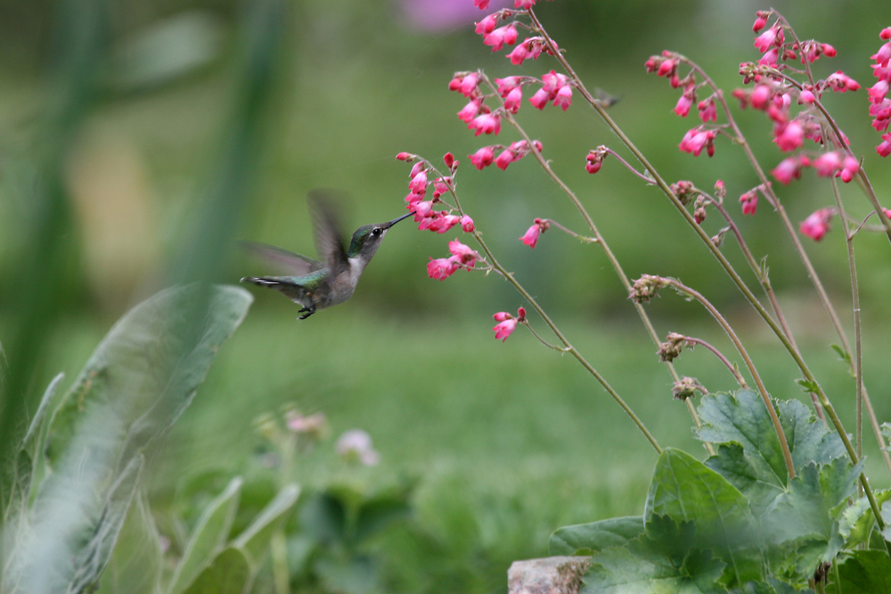Female Ruby-throated Hummingbird by Nicole Richer