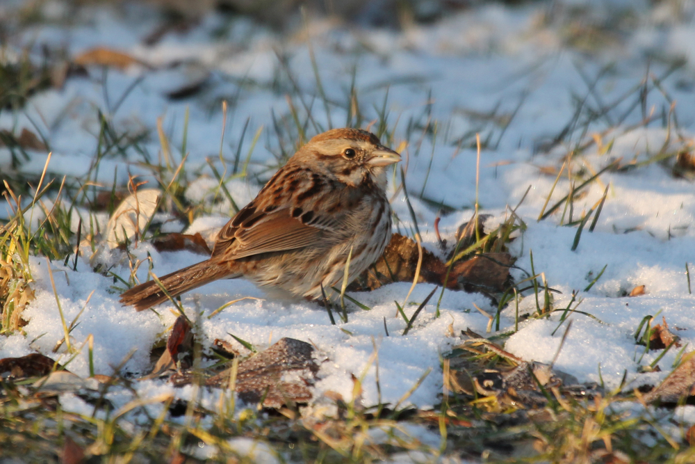 Song Sparrow by Nicole Richer