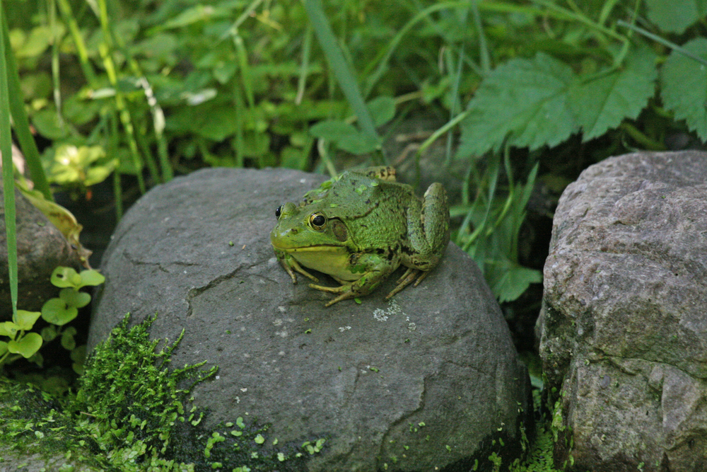 Green Frog by Nicole Richer