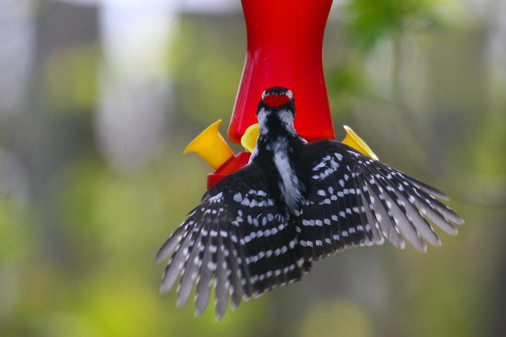 Male Downy Woodpecker by Nicole Richer