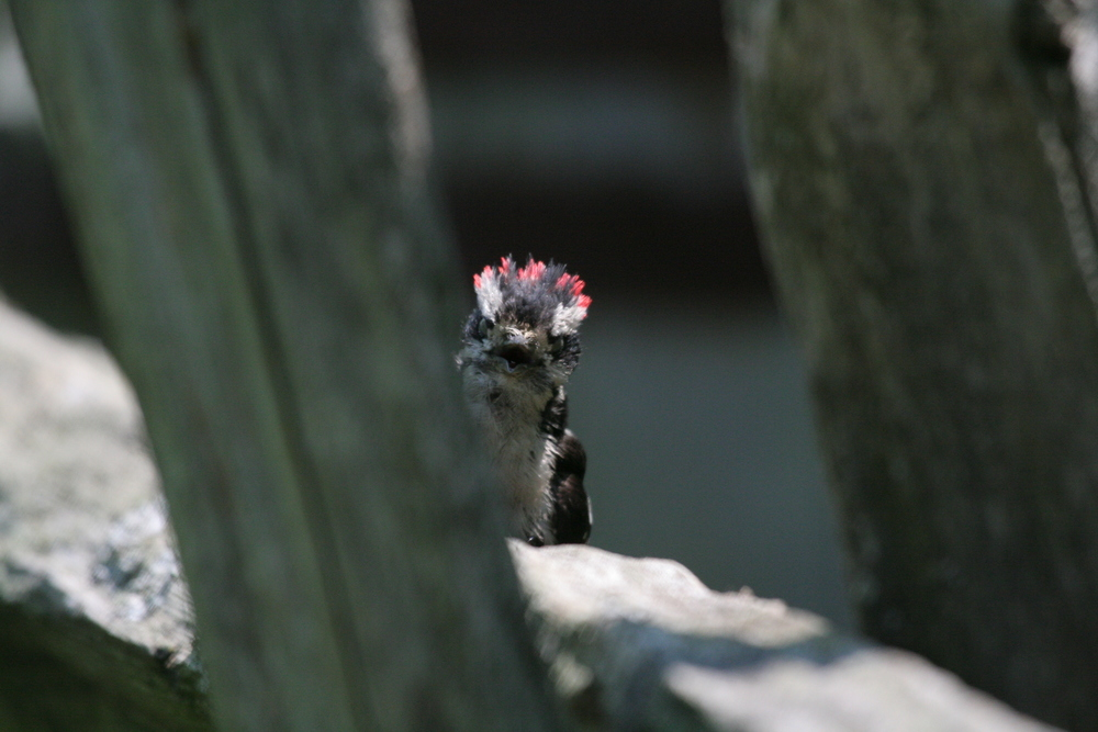 Hairy Woodpecker, Peek-a-Boo!