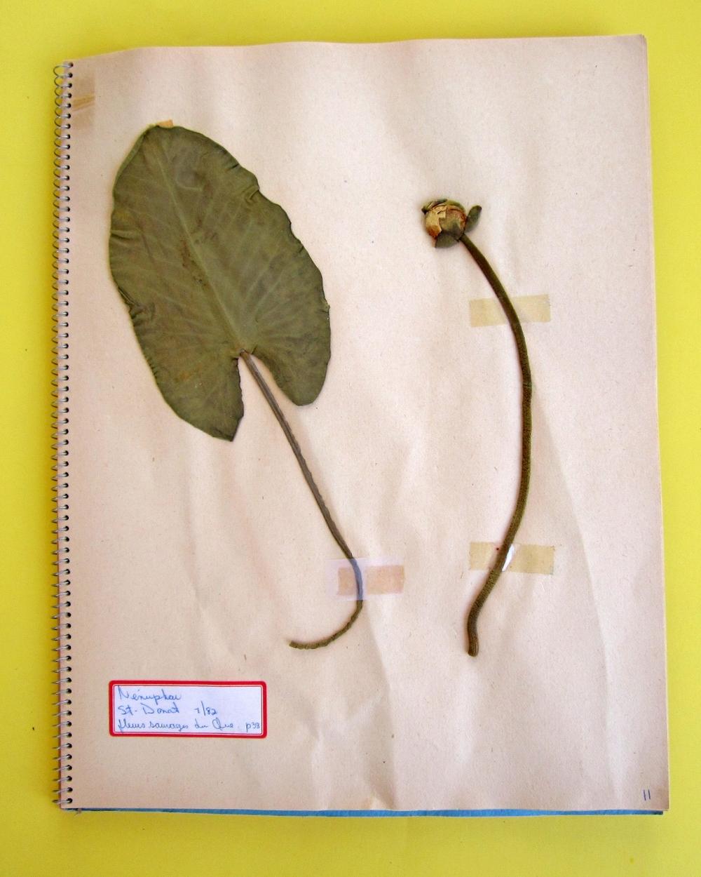 Spatterdock (Nuphar variegatum)