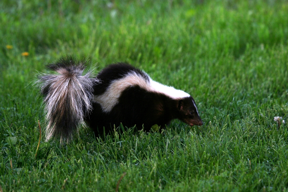 Stripped Skunk (Mephitis mephitis)