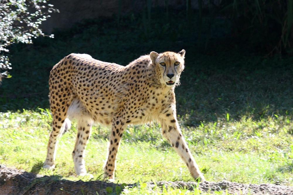 Cheetah at the Memphis Zoo