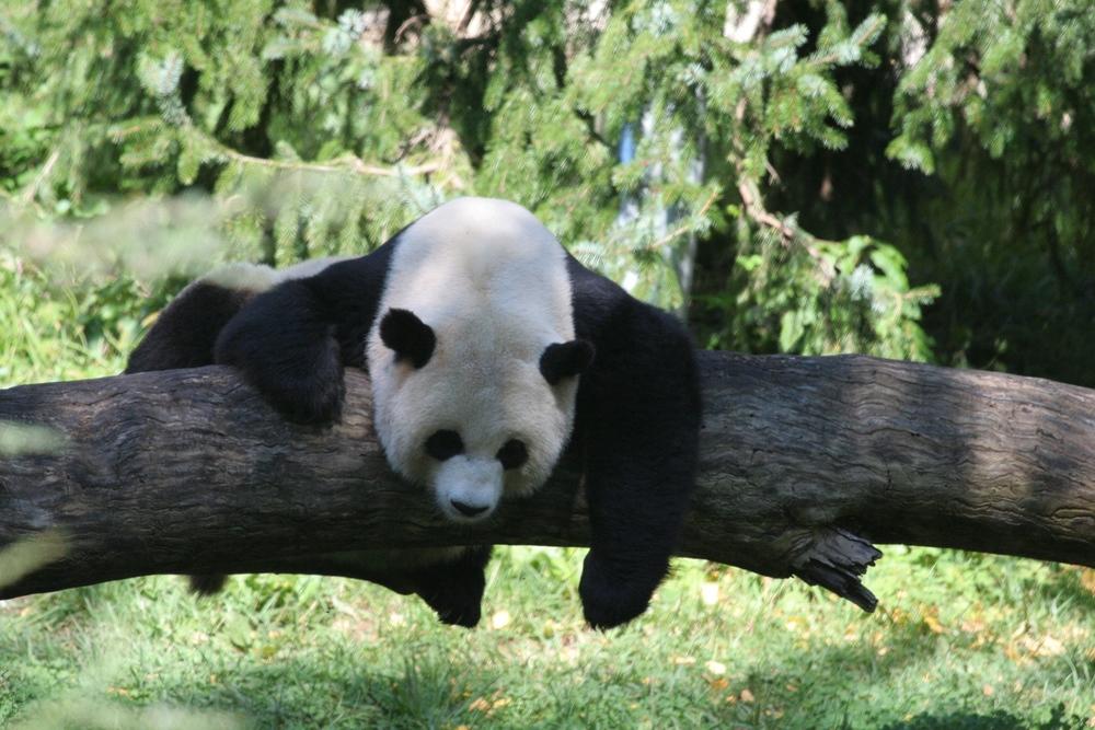 Panda at the Washington National Zoo
