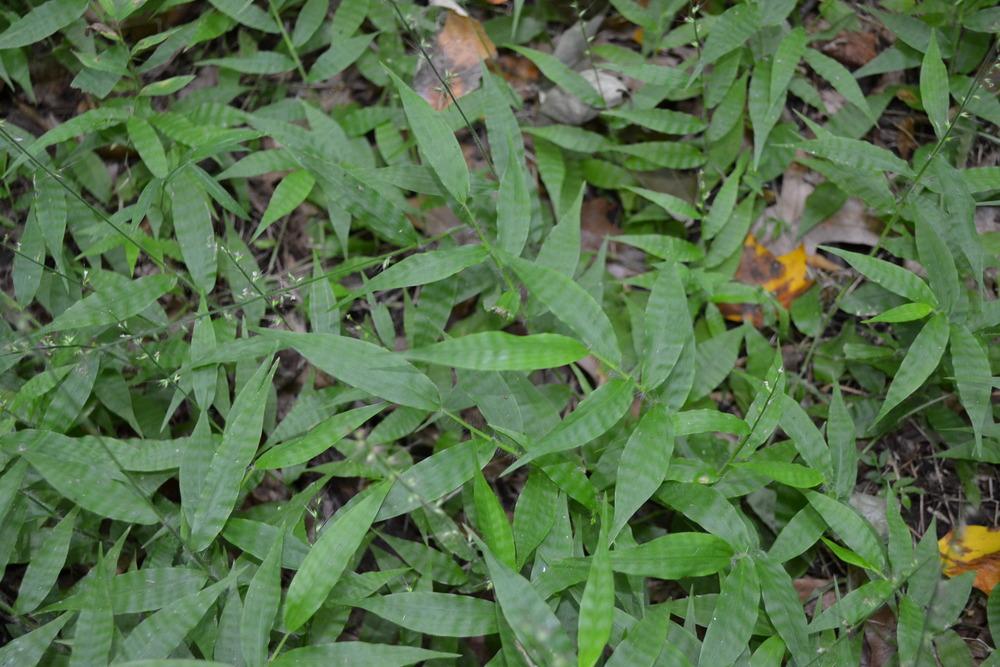 Wavyleaf basketgrass (Oplismenus undulatifolius)