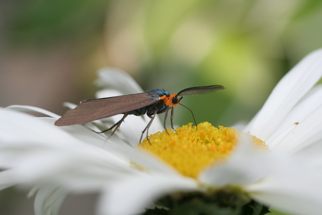 A Virginia ctenucha enjoying a daisy