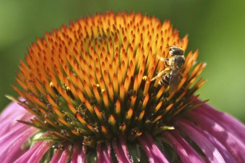 Photo: Honey bee on purple coneflower Credit: USFWS/Northeast