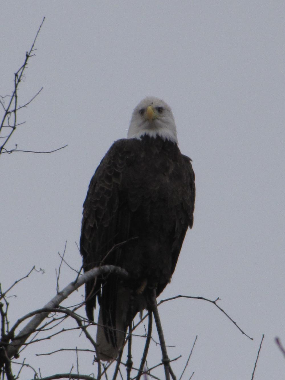 Bald Eagles on the Buffalo River at the Farm