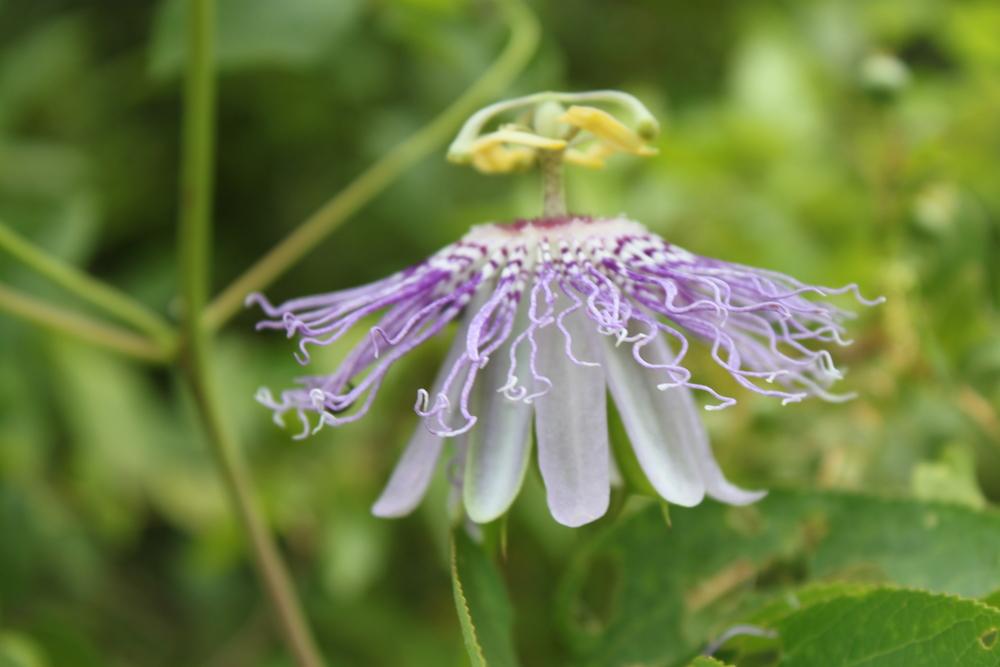 Maypop Flower & Vine