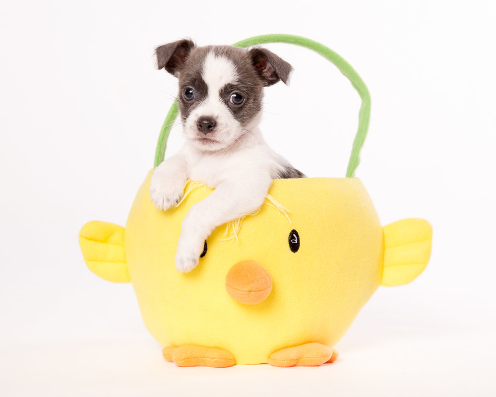 puppy in easter basket