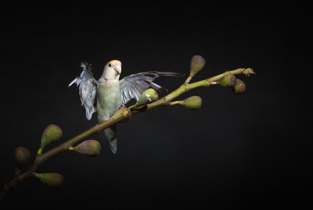 lovebirds--2.jpg
