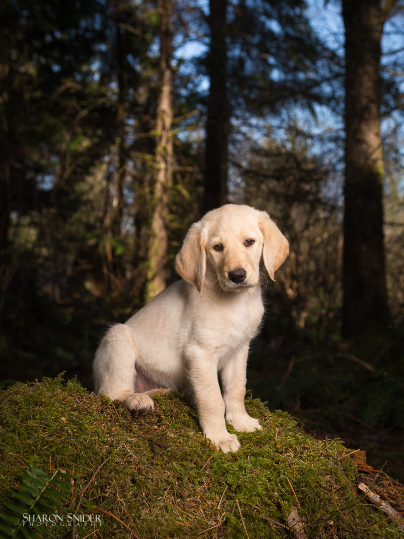 labradoodle puppy.jpg